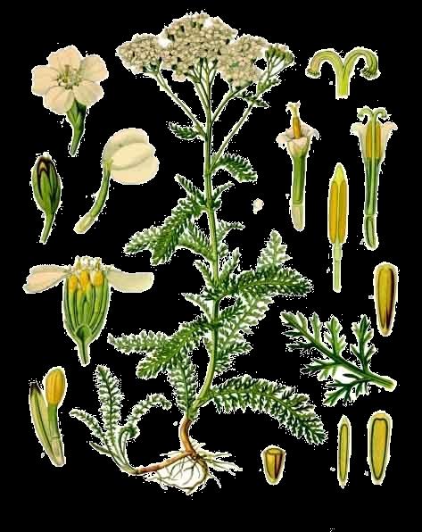 Stolisnik ili hajdučka trava